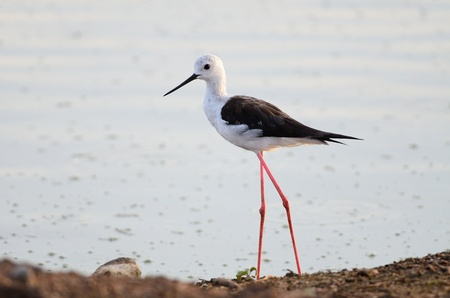 black winged stilt: Black Winged Stilt Stock Photo