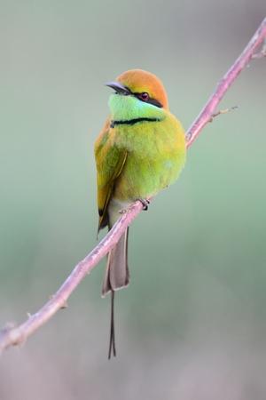 eater: Green Bee Eater