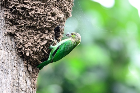 ruby house: Green Eared Barbet