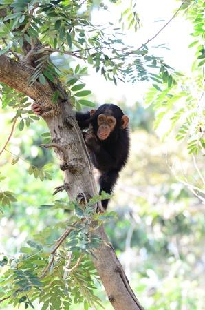 若いチンパンジー