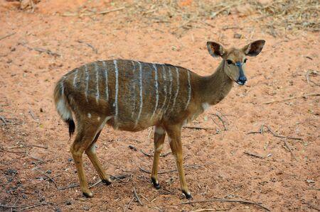 Nyala (Female) photo