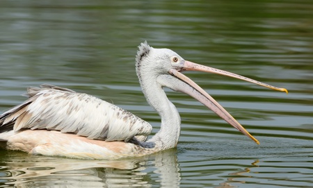 malandros: Spot-Billed Pelican Foto de archivo