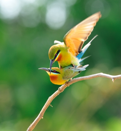 animal mating: Blue-Tailed Bee Eater