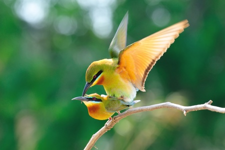 mating colors: Blue-Tailed Bee Eater