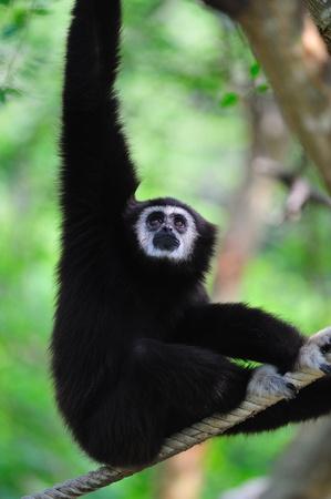 handed gibbon: white handed gibbon