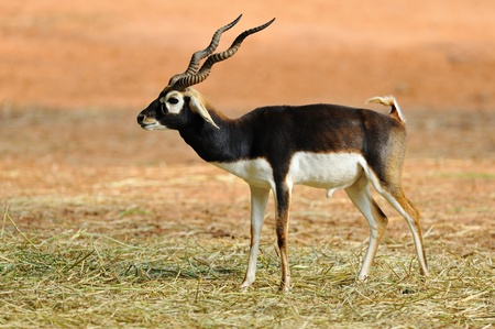 Indian Black Buck Antelope  Antelope cervicapra L     photo