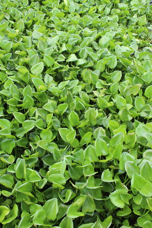 hydrophyte: water hyacinth