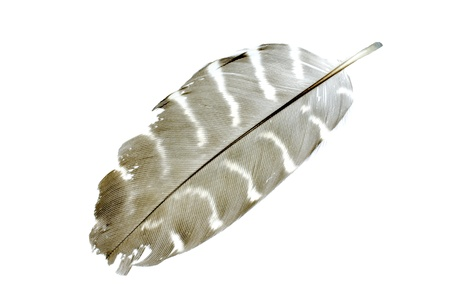 feathering: Feather with white isolate background