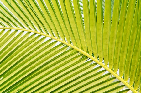 coconut green leaf background photo