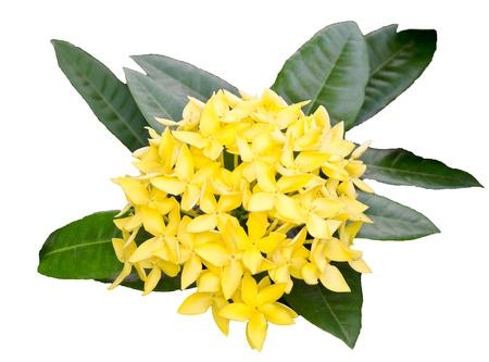 geranium color: Jungle geranium  Ixora coccinea   Close-up  yellow color  Stock Photo