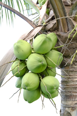green coconut at treewith white background