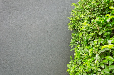 Green tree with gray concrete wall    photo