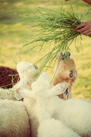 sheepfold: Sheep eating in the farm from hand . Stock Photo