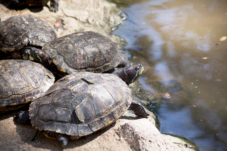 pinery: Group of turtle .
