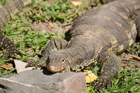 Komodo Dragon, the largest lizard in the world photo