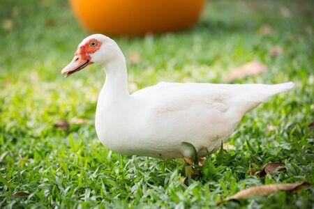 muscovy duck: Muscovy duck in farm Stock Photo
