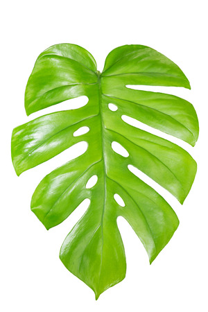 Single Monstera leaf isolated on white background