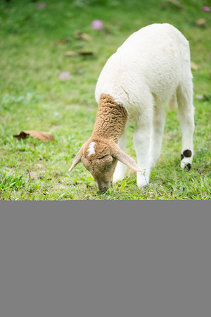 sheepfold: Little Sheep eating grass in the farm