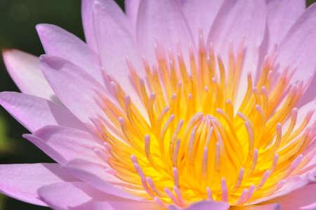 Lotus Flower Stock Photo - 9761923