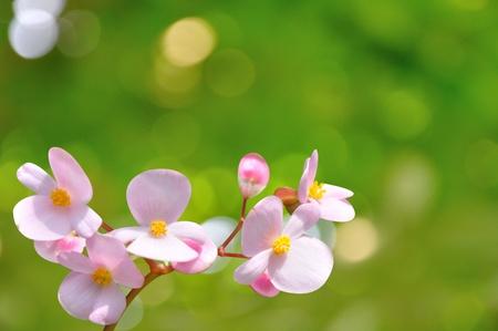 Begonia Flower  photo