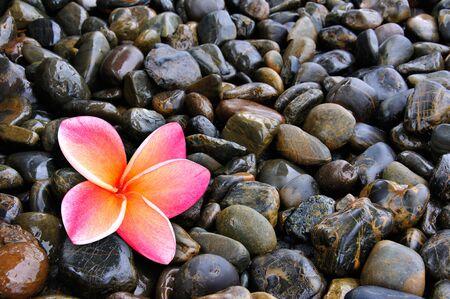 Plumeria Flower on Pebble  photo
