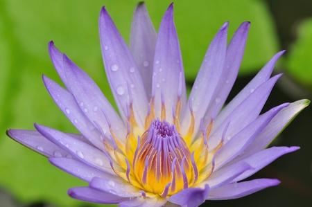 Violet color lotus flower photo