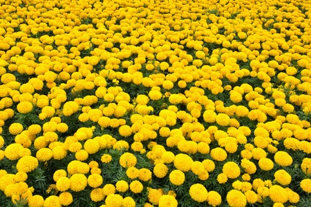 Yellow Flower, Marigold photo