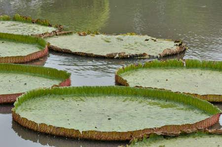 Big Victoria lotus leaf Stock Photo - 11221068