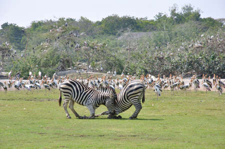 Zebra fighting, in open zoo photo