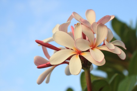 Plumeria (frangipani) on sky background. photo