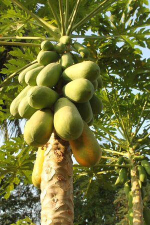 papaya on tree photo