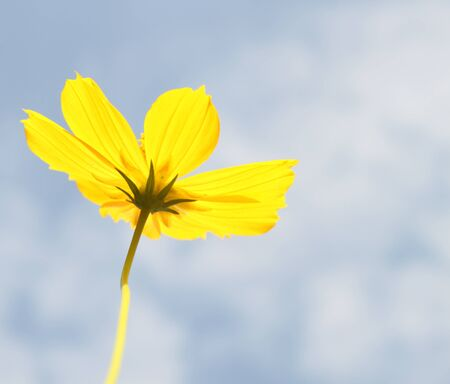 yellow cosmos flower on a blue sky background photo