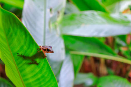 anura: Anura es la misma especie de rana