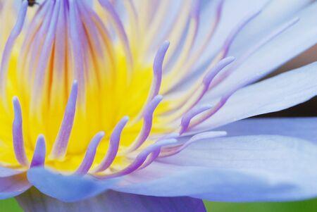 waterlilly: Lotus