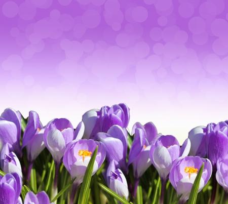 crocus: Crocus flower