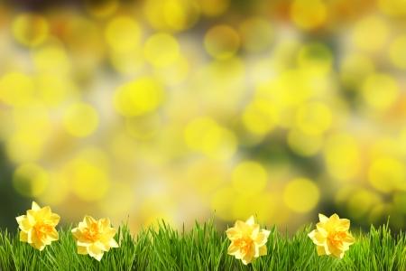 Primavera Narcissus Happy Easter Archivio Fotografico - 24942390