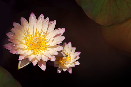 Lotus or Water Lily Flowers Blooming in the swamp, Top view and Dark light