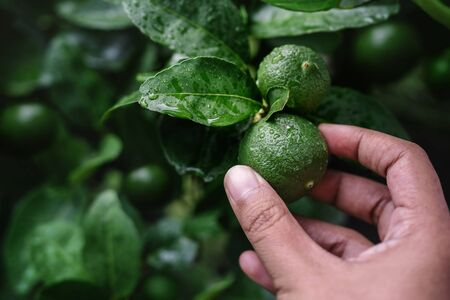 Closeup of Farmer's Hand Picking a Fresh Green Lemon in Organic Farm. Native to Southeast Asia. Shot on Rainy Day or after Watering.