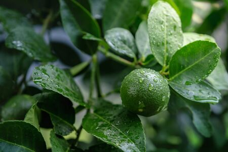 Fresh Green Lemon in Organic Farm. Native to Southeast Asia. Shot on Rainy Day or after Watering. Banco de Imagens