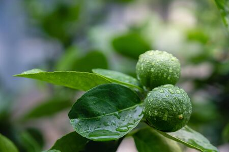 Fresh Green Lemon in Organic Farm. Native to Southeast Asia. Shot on Rainy Day or after Watering.