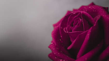 Pink Fresh Rose with Droplet on Petal. Flower Symbol of  Love and Valentines Day. CLoseup shot in Studio