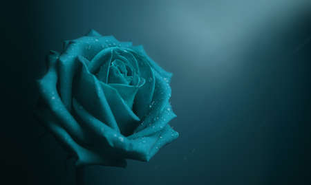 Blue Rose with Droplet on Petal. Flower Symbol of  Love and Valentines Day. Lonely and Sadness Feeling Concept Foto de archivo