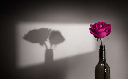 Lonely and Sadness Feeling Concept. Single Pink Rose Flower Shading Shadow on the Wall as Couple. Symbol of  Love and Valentines Day
