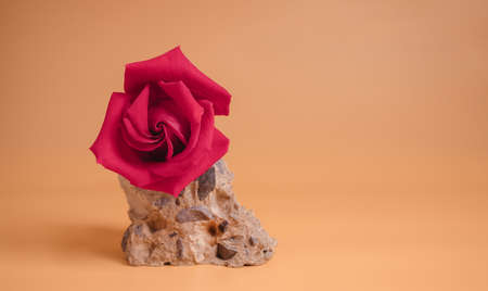 Pink Rose on Cement Rock. Flower Symbol of  Love and Valentines Day