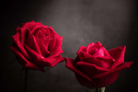 two Red Fresh Roses with Droplet on Petal. Couple Flower, Symbol of  Love and Valentines Day. CLoseup shot and Dark tone