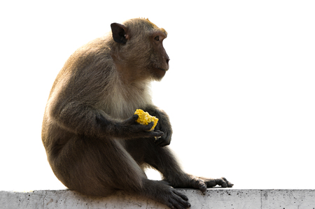 cage gorilla: Long tailed macaque male sitting on wall with food  corn  in hands isolated on white background