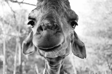 A face with a smile of giraffe in KhaoKeaw open Zoo, Chonburi, Thailand photo