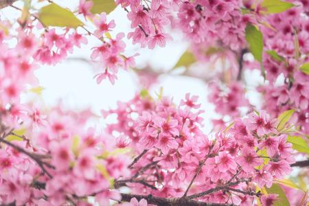 Pink sakura flower bloom in spring season. Vintage sweet cherry blossom soft tone texture background.
