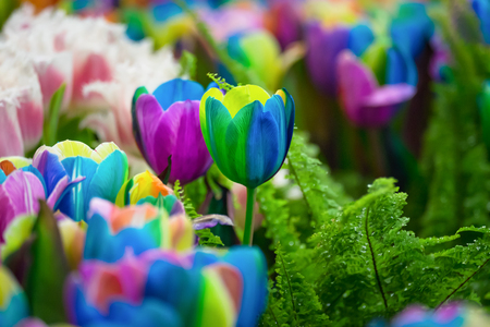 variegated: Multicolored rainbow tulips on a blurred background