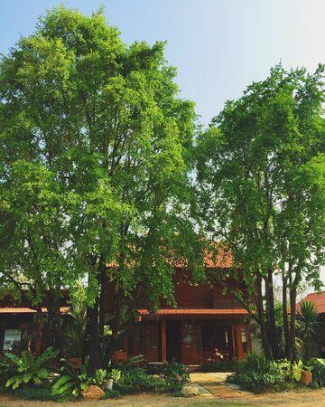 ebony tree: Wood house and Ebony trees.